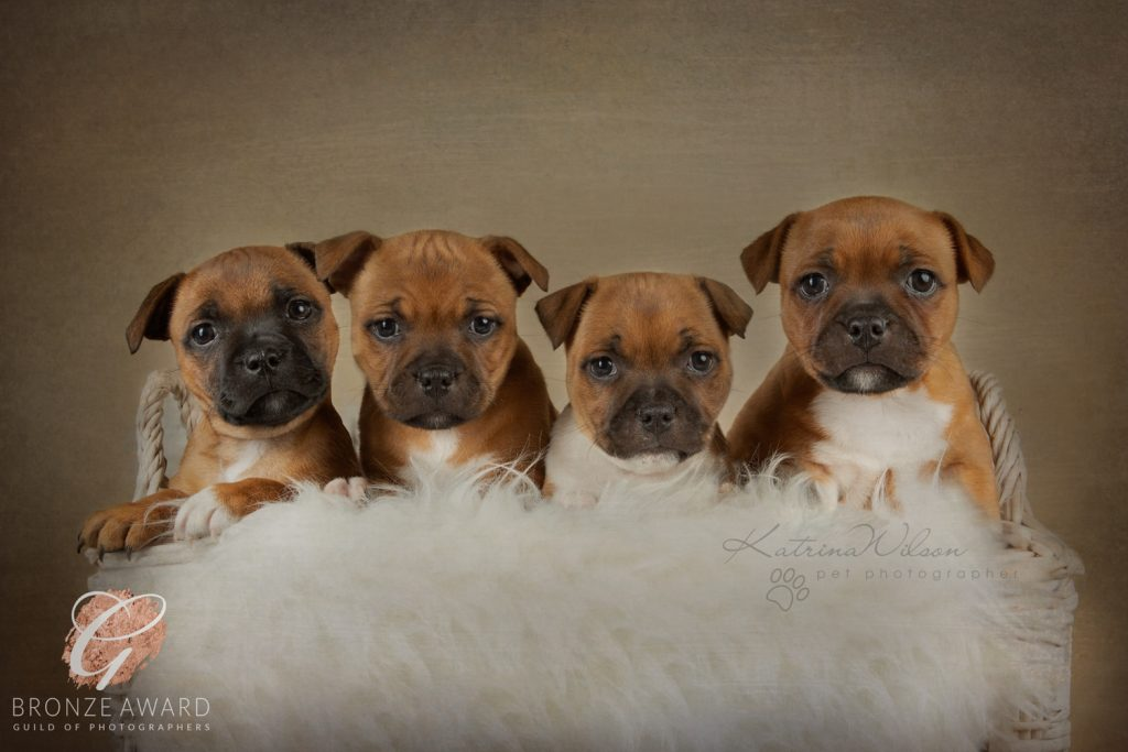 Guild of Photographers - Katrina Wilson Dog Photography Bedfordshire-5