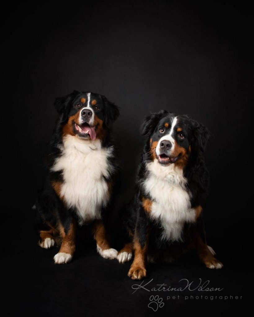 Bernese Mountain Dog - Katrina Wilson Dog Photographer Bedfordshire-1