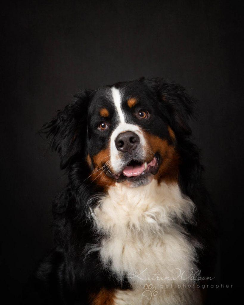 Bernese Mountain Dog - Katrina Wilson Dog Photographer Bedfordshire-4