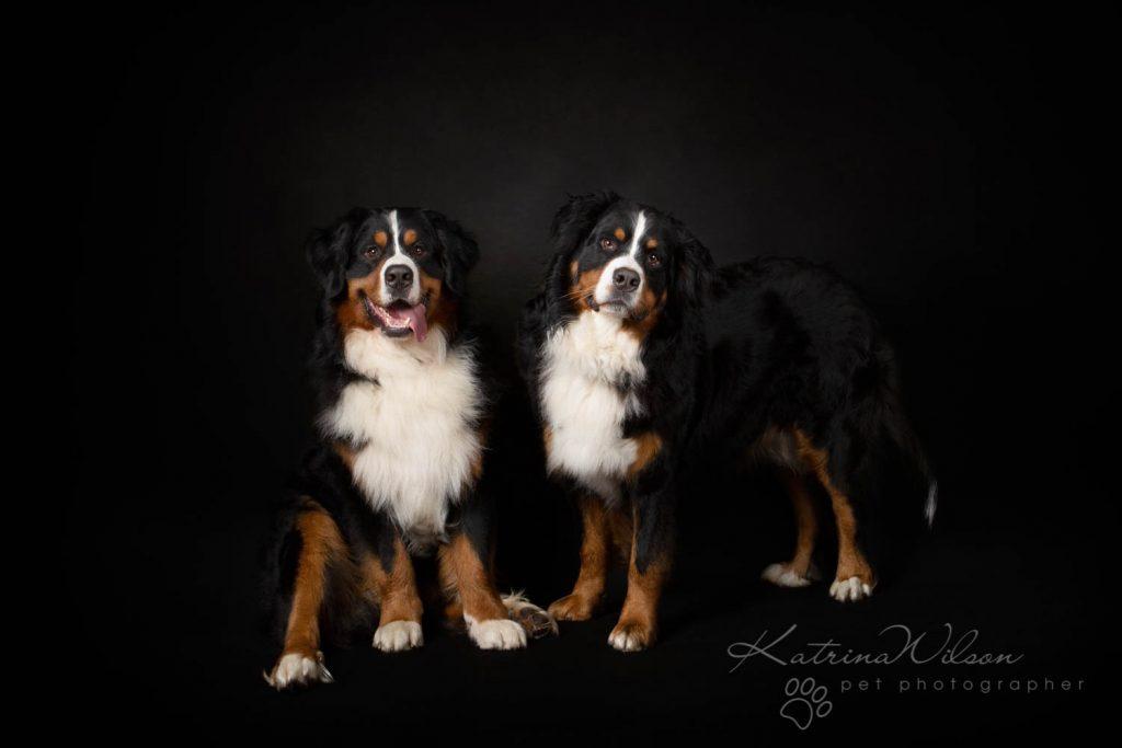 Bernese Mountain Dog - Katrina Wilson Dog Photographer Bedfordshire-7
