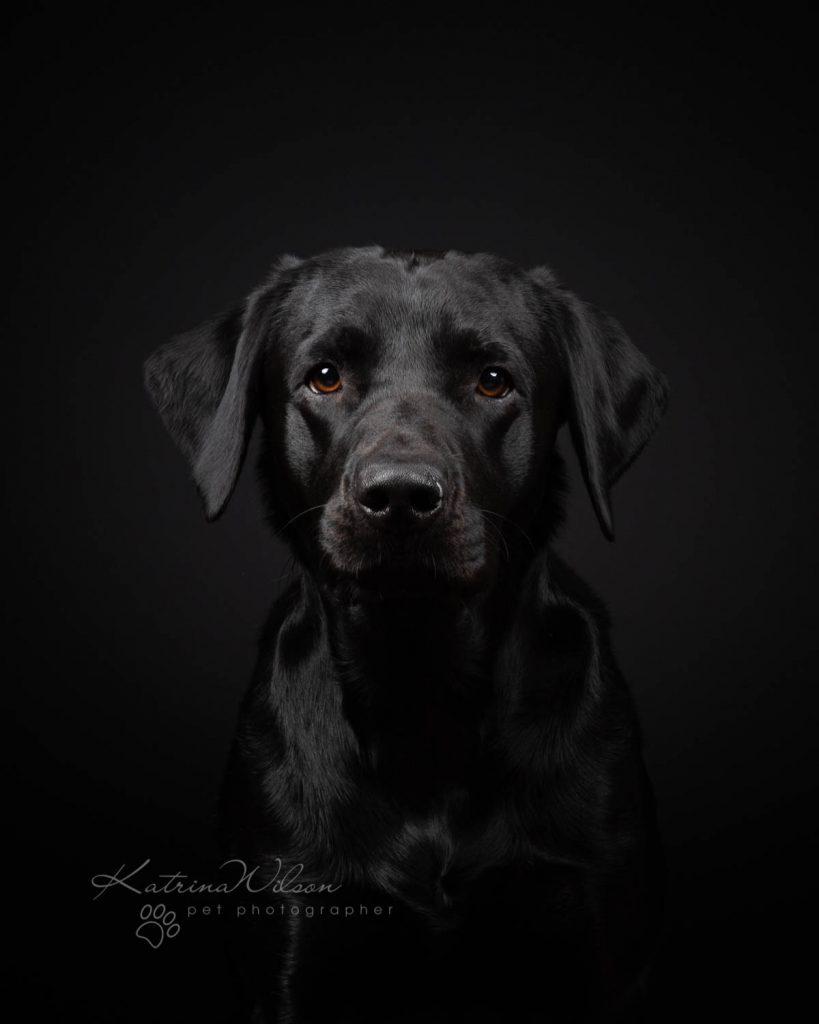 Black Labrador - Top 10 Dog Breeds Katrina Wilson Dog Photographer-1