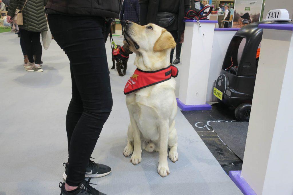 Crufts 2020 - Medical Detection Dogs - Katrina Wilson Dog Photography