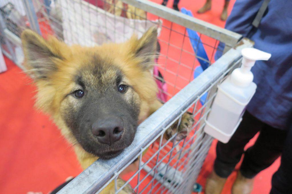 Crufts 2020 - Spitz puppy - Katrina Wilson Dog Photography