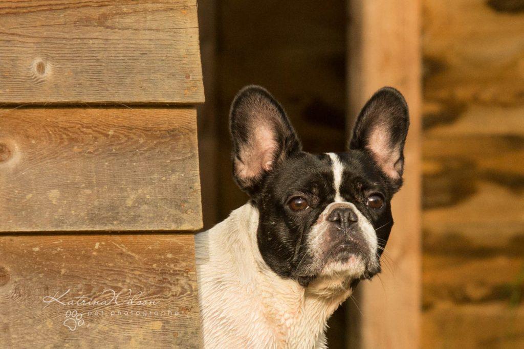 Frenchie Bulldog - Top 10 Dog Breed Katrina Wilson Dog Photographer-1