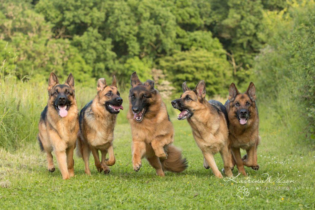 German Shepherd - Top 10 Dog Breed Katrina Wilson Dog Photographer-1