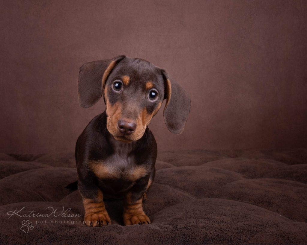 Mini Smooth Dachshund - Top 10 Dog Breed Katrina Wilson Dog Photographer-1