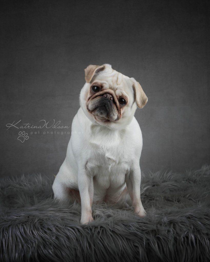 Pug - Top 10 Dog Breed Katrina Wilson Dog Photographer-1