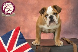 Katrina Wilson Dog Photographer - Bulldog