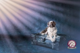 Katrina Wilson Dog Photographer - Border Collie