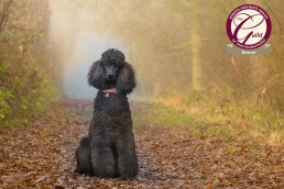 Katrina Wilson Dog Photographer - Poodle