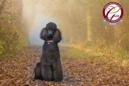 Katrina Wilson Dog Photographer - Poodle