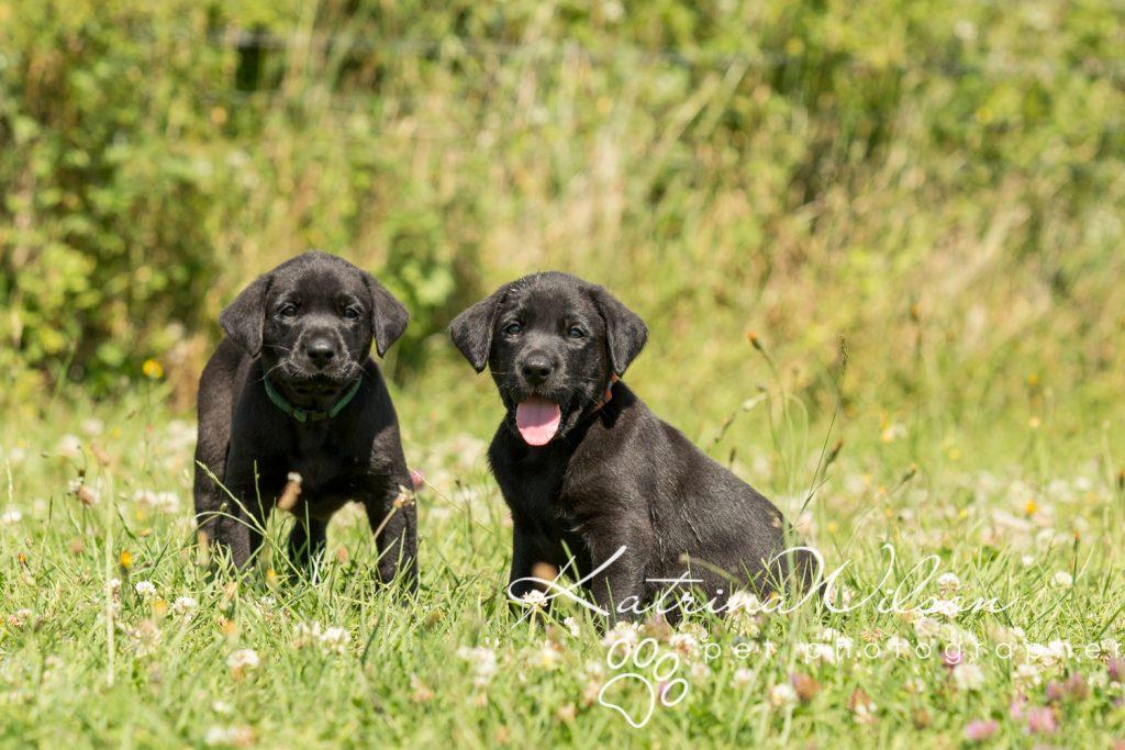 Labrador Puppy Photo Shoot -1