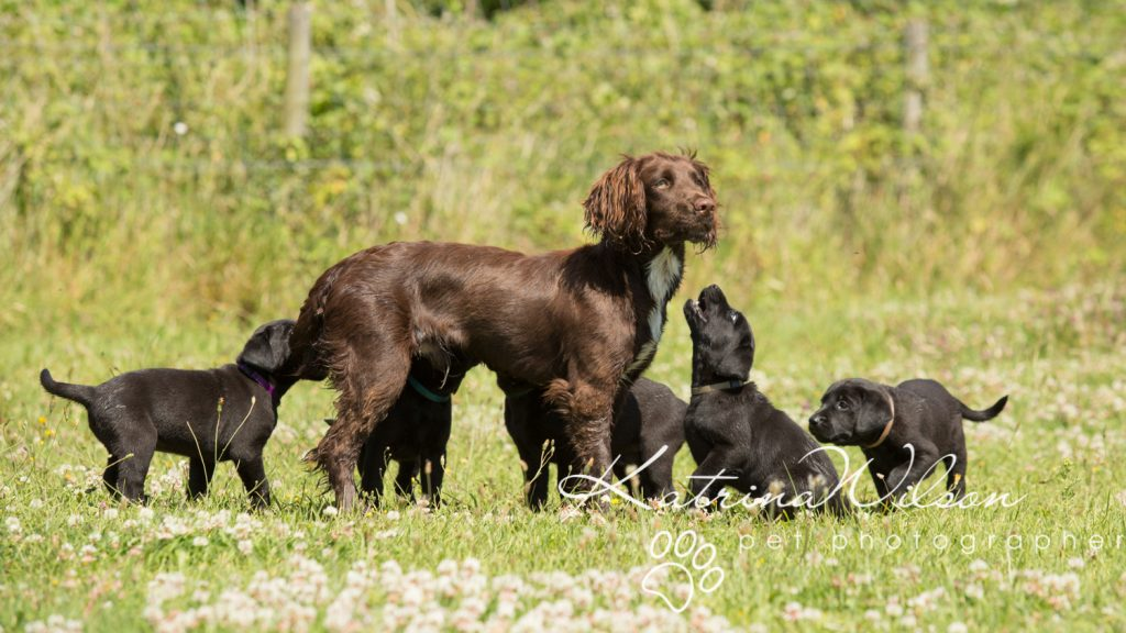 Labrador Puppy Photo Shoot -1-2