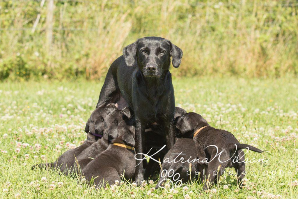 Labrador Puppy Photo Shoot -2