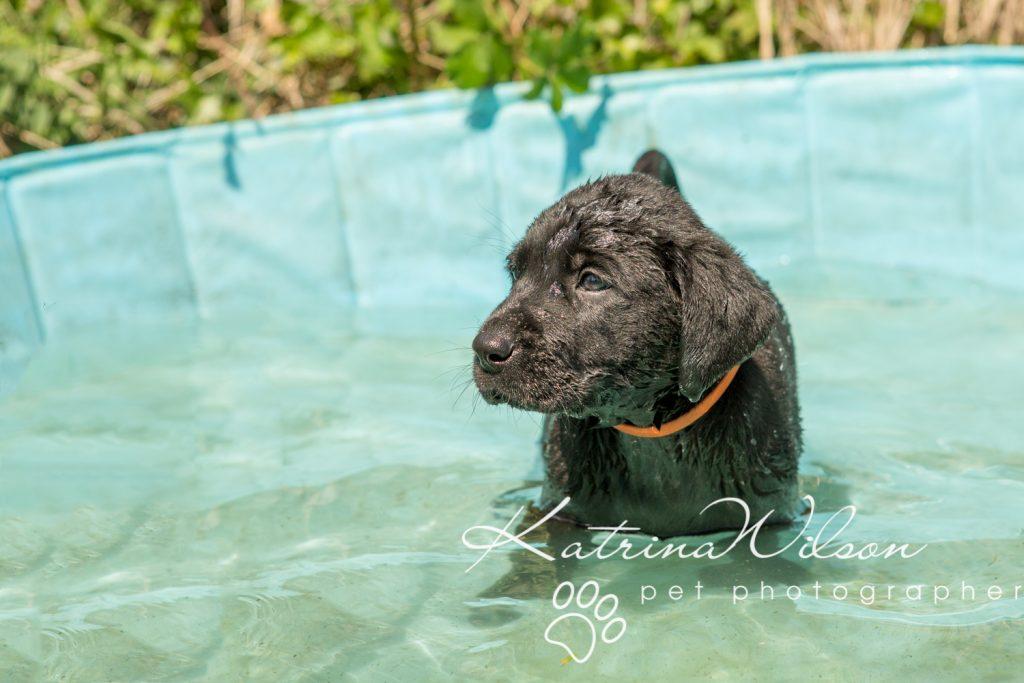 Labrador Puppy Photo Shoot -3