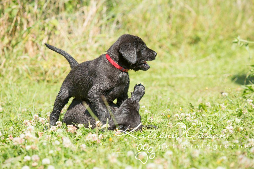 Labrador Puppy Photo Shoot -4