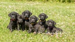 Labrador Puppy Photo Shoot -5