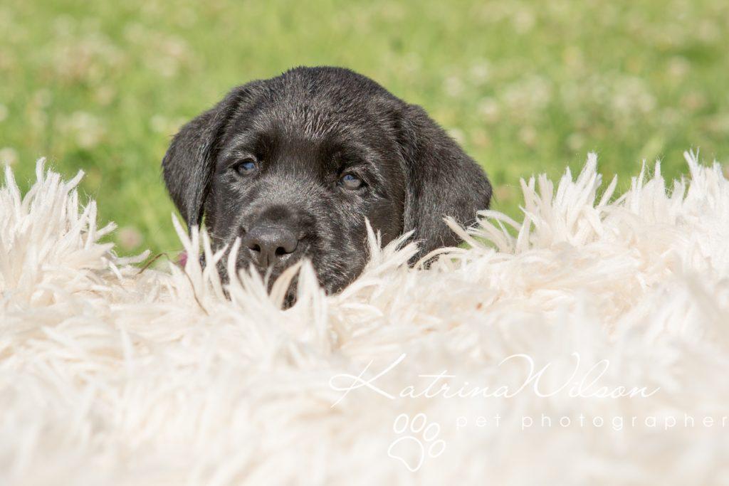 Labrador Puppy Photo Shoot -8