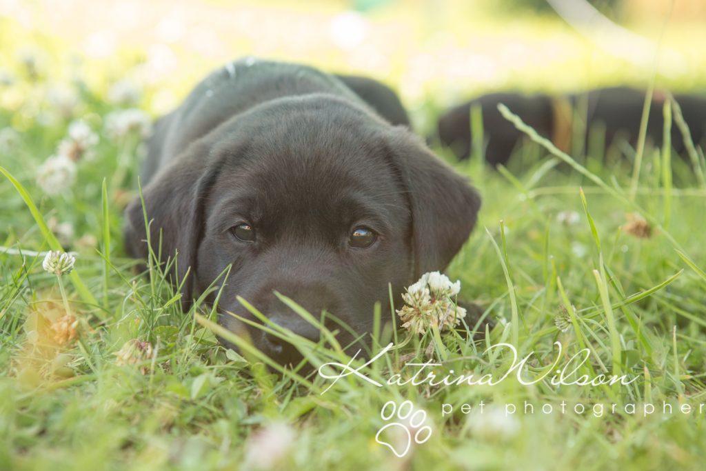 Labrador Puppy Photo Shoot -9