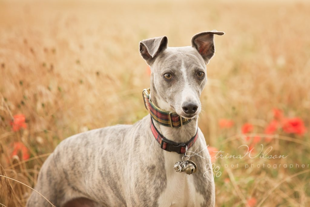 Whippet - Dog photography Bedfordshire -1-2