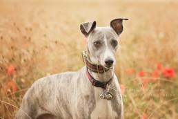 Whippet - Dog photography Bedfordshire -1-2