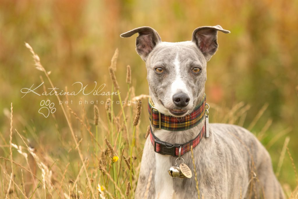Whippet - Dog photography Bedfordshire -1-4