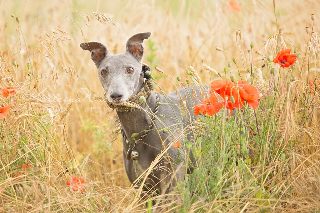 Whippet rescue - dog photographer Bedfordshire