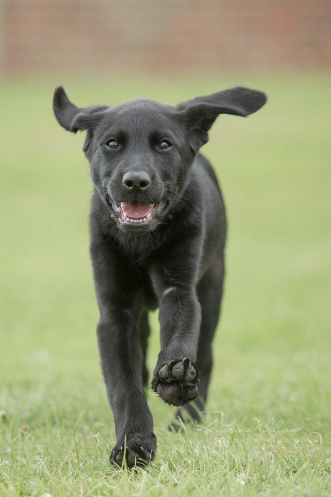 Blitz - Dog Photographer Bedfordshire-1
