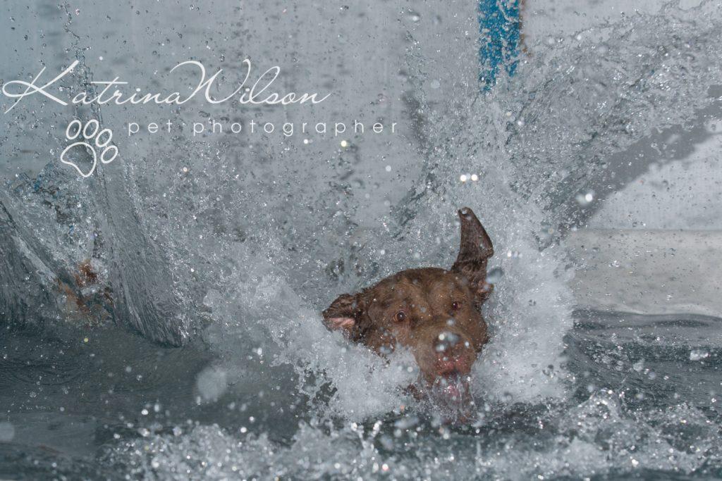 Kaiden Swim Session - Dog Photographer Bedfordshire-9