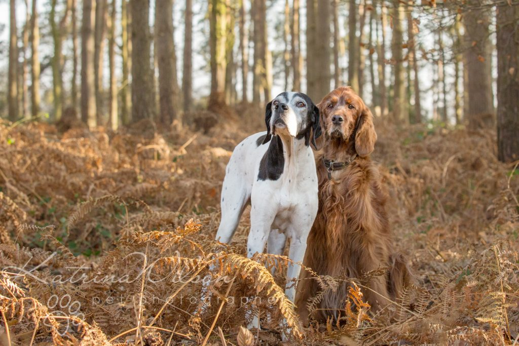 Red Setter and Pointer Autumn Sessions - Dog Photographer Bedfordshire-4