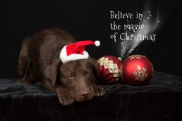 Christmas gifts for pet lovers - Dog photographer Bedfordshire-1-2