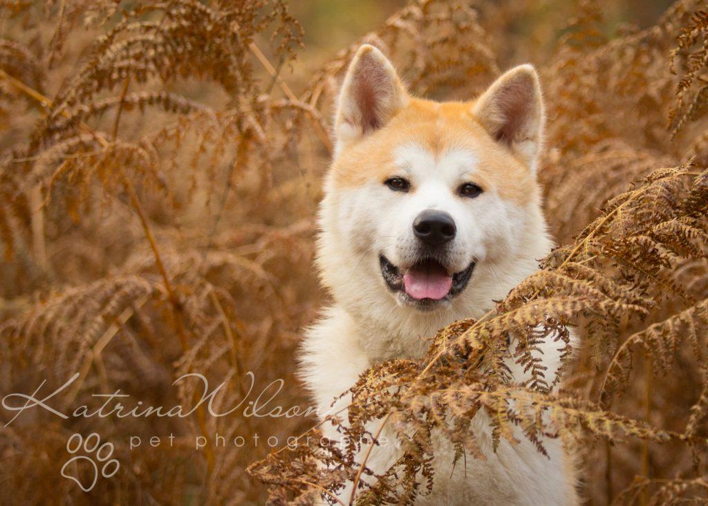 Akita Autumn Photo Session - Dog Photographer Bedfordshire-1