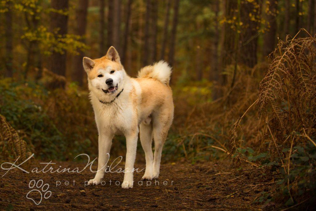Akita Autumn Photo Session - Dog Photographer Bedfordshire-2