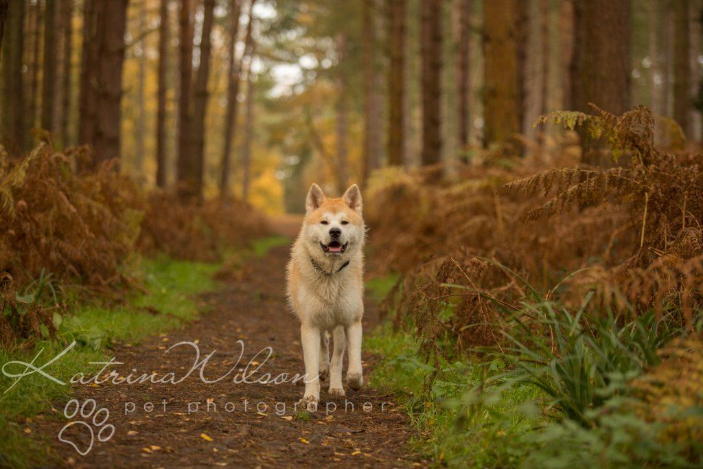Akita Autumn Photo Session - Dog Photographer Bedfordshire-3