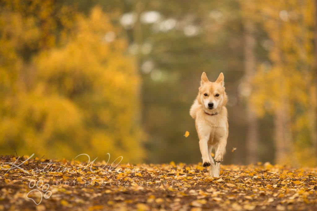 Akita Autumn Photo Session - Dog Photographer Bedfordshire-4