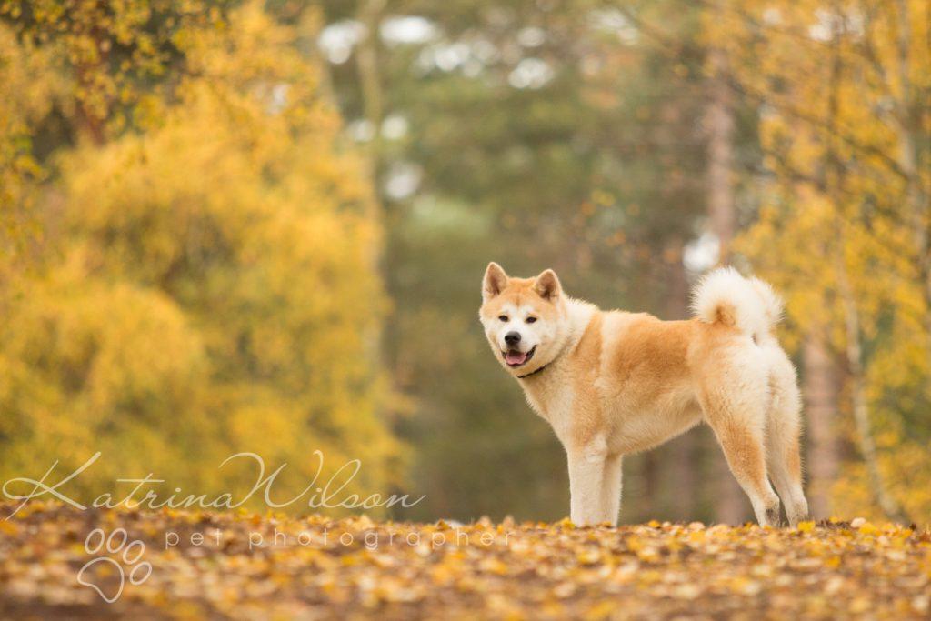 Akita Autumn Photo Session - Dog Photographer Bedfordshire-5