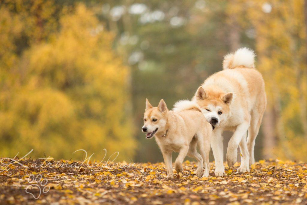 Akita Autumn Photo Session - Dog Photographer Bedfordshire-6