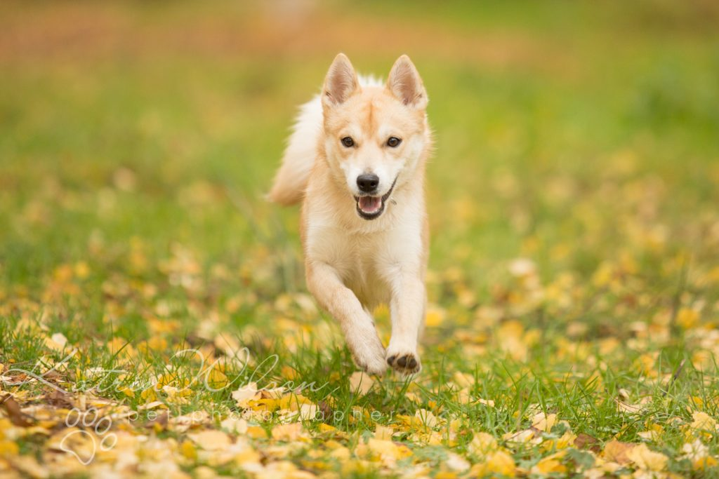 Akita Autumn Photo Session - Dog Photographer Bedfordshire-8