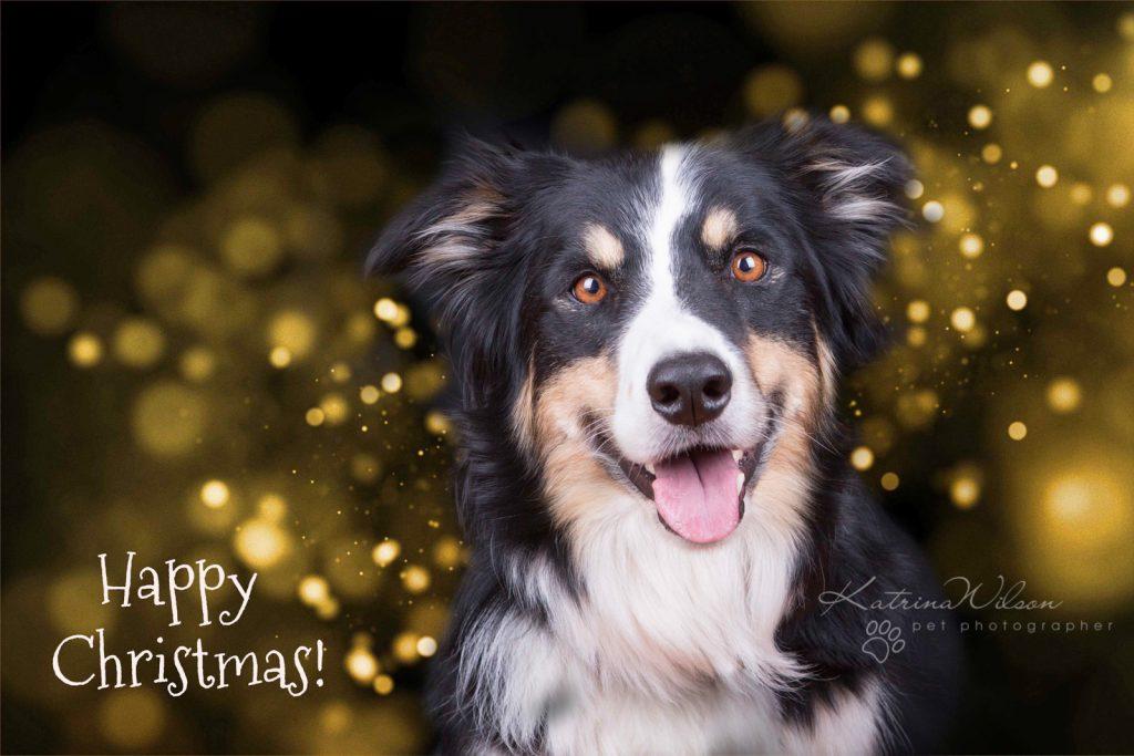 Christmas Dogs - Dog photographer Bedfordshire-1-2