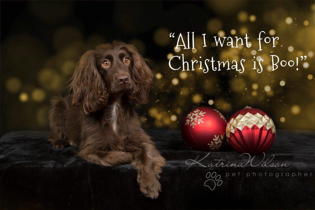 Christmas Dogs - Dog photographer Bedfordshire-1-3