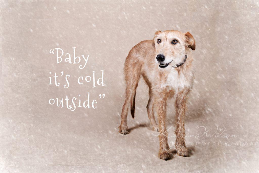 Christmas Dogs - Dog photographer Bedfordshire-1-4