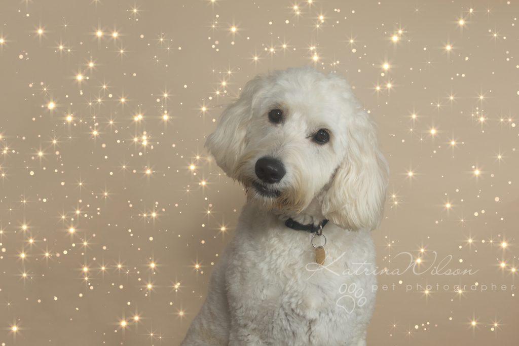 Christmas Dogs - Dog photographer Bedfordshire-1-6