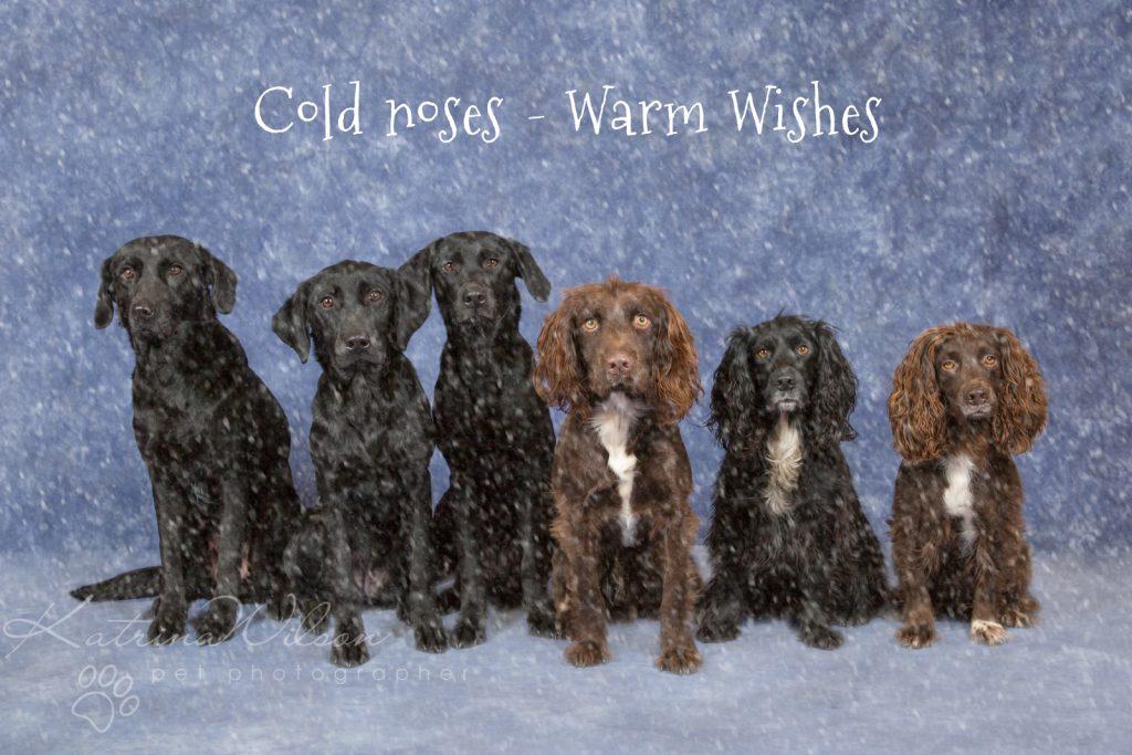 Christmas Dogs - Dog photographer Bedfordshire-3