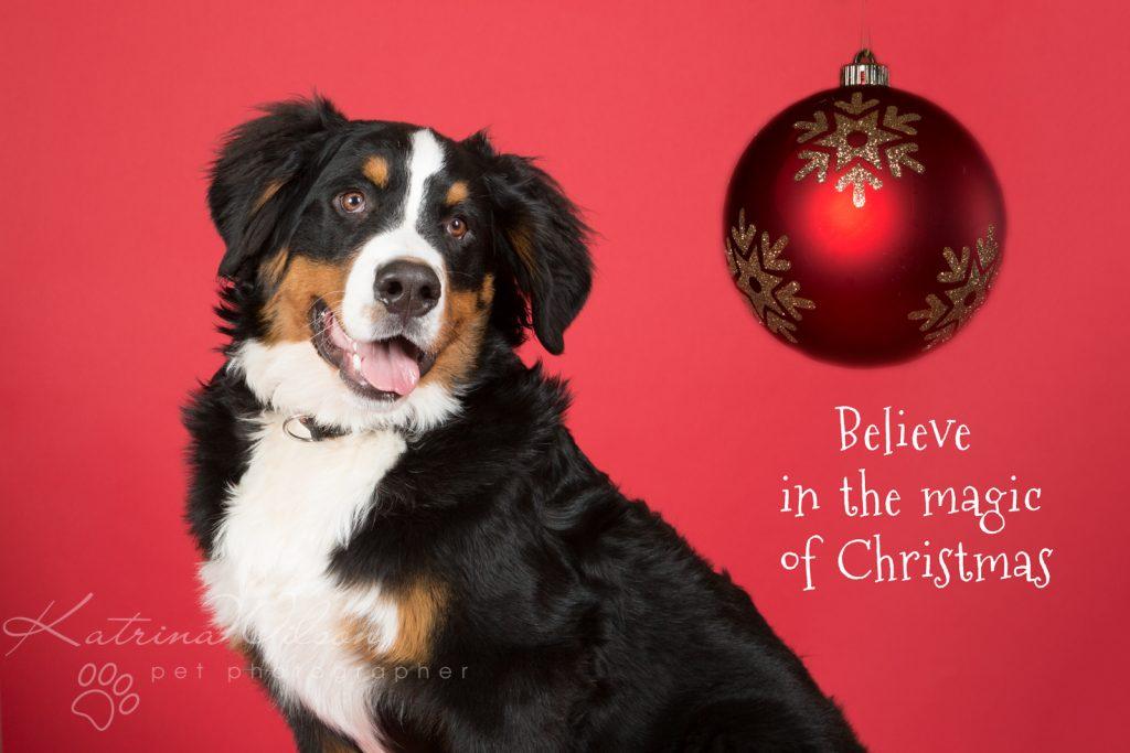 Christmas Dogs - Dog photographer Bedfordshire-4