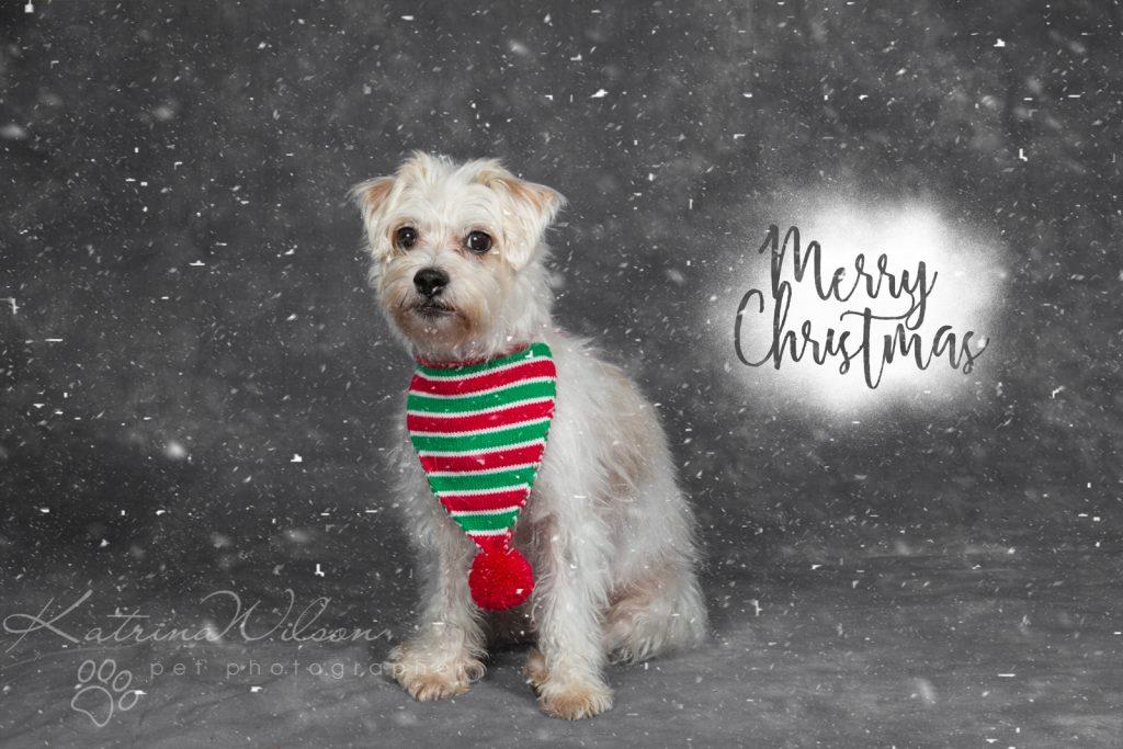 Christmas Dogs - Dog photographer Bedfordshire-8