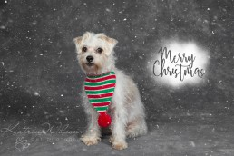 Christmas Dogs - Dog photographer Bedfordshire-8