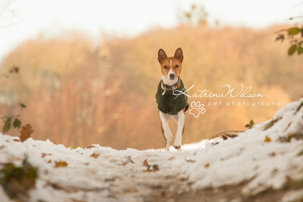 Basenji Border Terrier Pet Photo Session - Dog Photographer Bedfordshire_-10