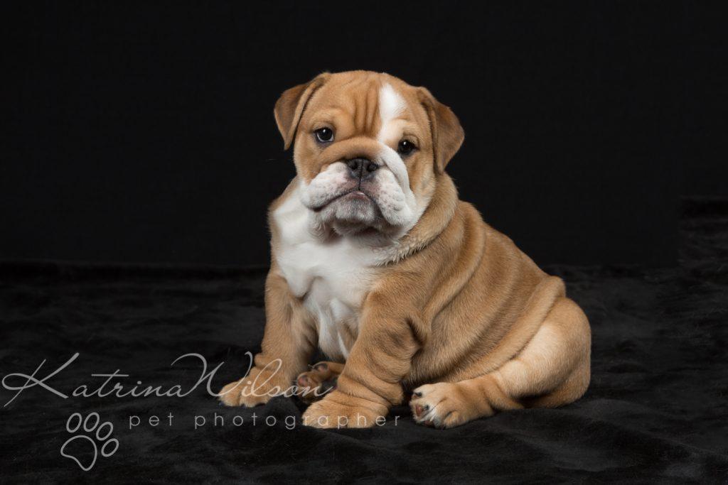Cute Bulldog Puppy - Pet Photo Dog Photographer Bedfordshire-1-2