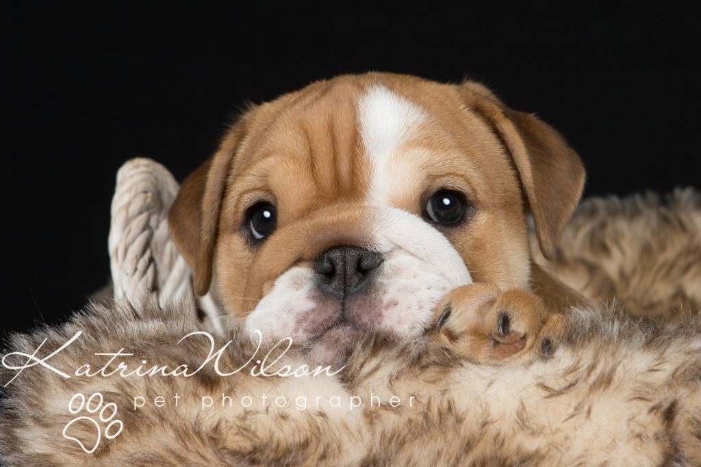 Cute Bulldog Puppy - Pet Photo Dog Photographer Bedfordshire-1