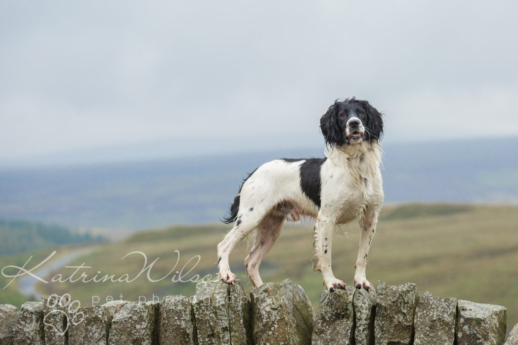 Top 100 Dog Breeds - Dog Photographer Bedfordshire_-2